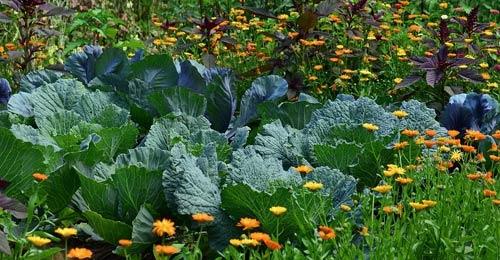 choux, plantes et fleurs
