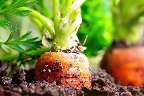 500 Graines de Carotte Nantaise – légumes jardin potager méthode BIO