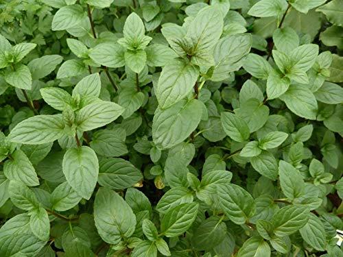 Lot de 200 Graines de Menthe verte BIO Aromatique Potager mentholée