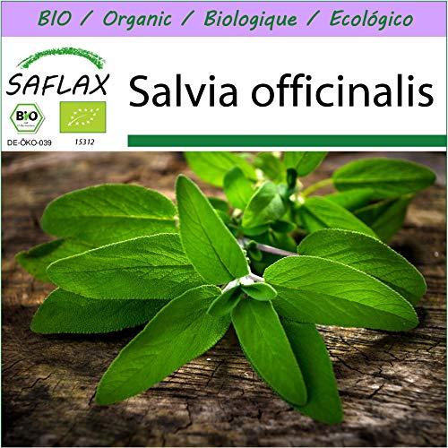 SAFLAX – BIO – Sauge – 60 graines – Salvia officinalis